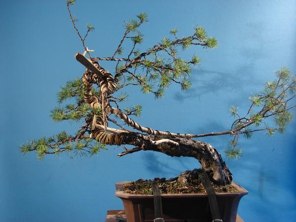 "Pinus sylvestris 2005 - ""Transformations "" Lj_210"