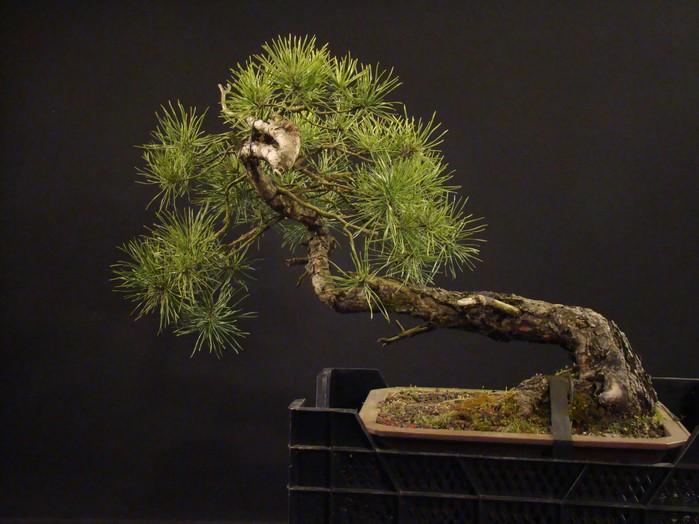 "Pinus sylvestris 2005 - ""Transformations "" Lj_410"