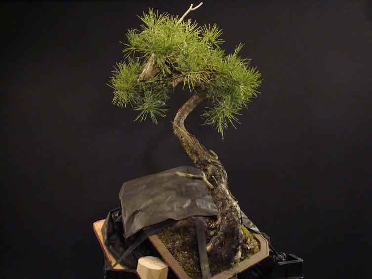 "Pinus sylvestris 2005 - ""Transformations "" Lj_510"