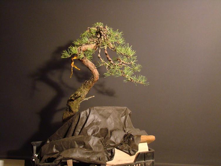 "Pinus sylvestris 2005 - ""Transformations "" Lj_610"