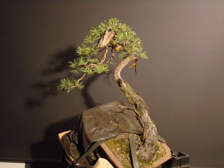 "Pinus sylvestris 2005 - ""Transformations "" Lj_710"