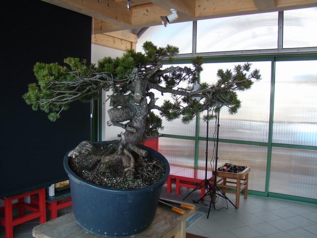 Pinus mugo - interesting Yamadori. Mn10