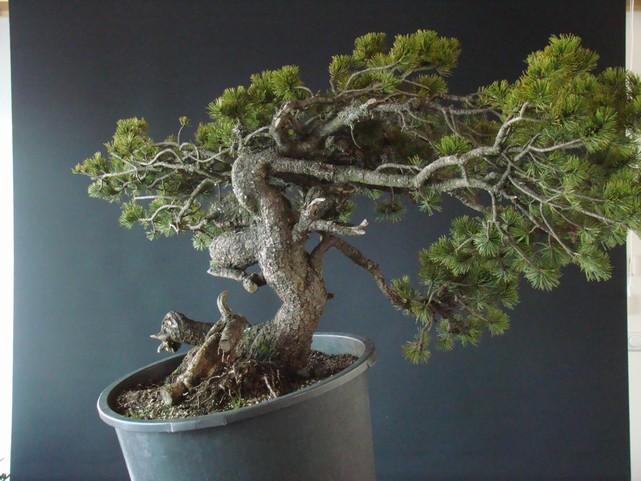 Pinus mugo - interesting Yamadori. Mn_110