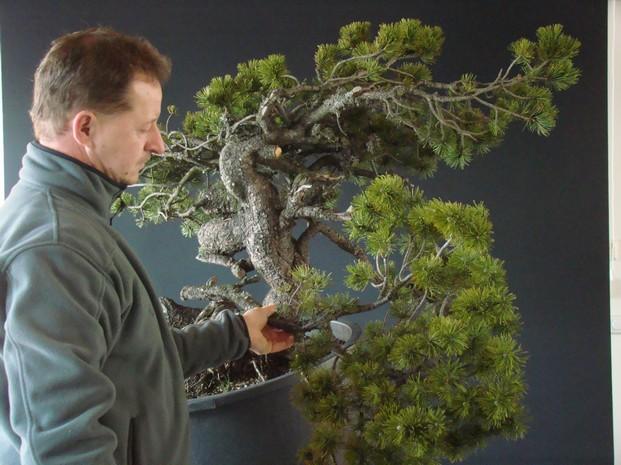 Pinus mugo - interesting Yamadori. Mn_210