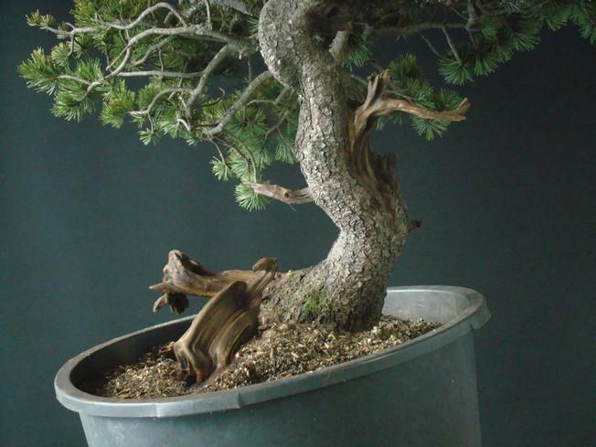 Pinus mugo - interesting Yamadori. Mn_310