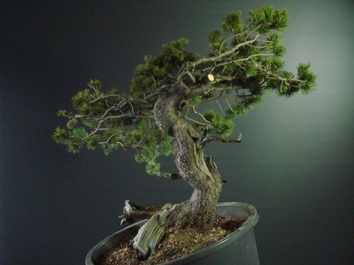 Pinus mugo - interesting Yamadori. Mn_410