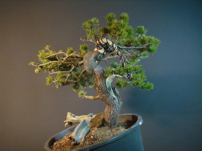 Pinus mugo - interesting Yamadori. Mn_510