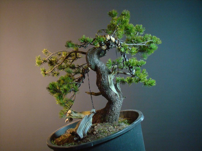Pinus mugo - interesting Yamadori. Mn_610