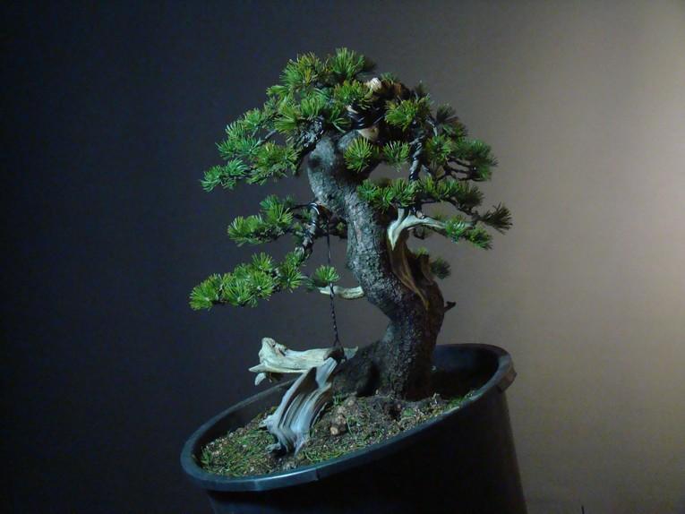 Pinus mugo - interesting Yamadori. Mn_810