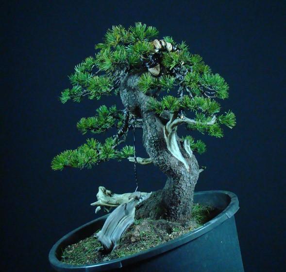 Pinus mugo - interesting Yamadori. Mn_910