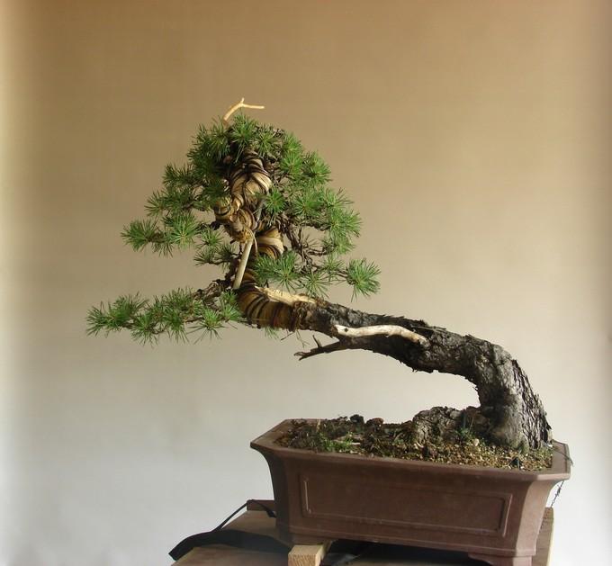 "Pinus sylvestris 2005 - ""Transformations "" Ohyb_310"