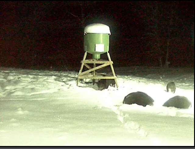 Wild Pig Camera Lovers/ ADDRESS CHANGED TO SWEDISH STREAMING CAM - Page 5 Javali15