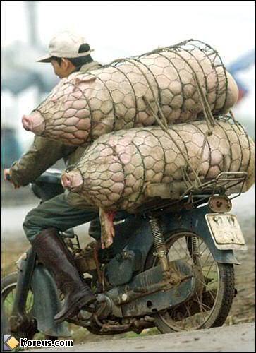 Un curieux baptème motorisé!!! Porcs-10