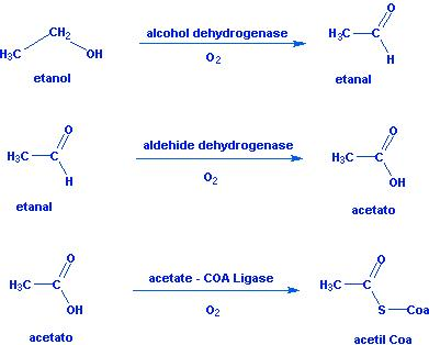 O Metabolismo do Etanol Oxidac10