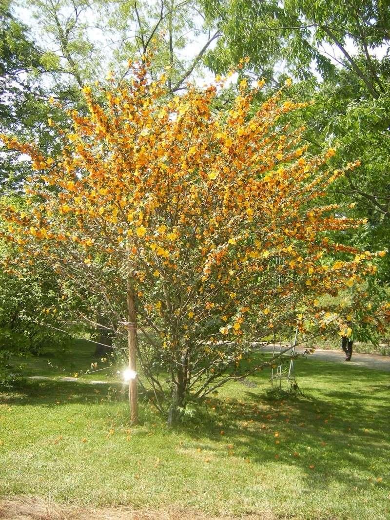Fremontia californica , Fremontodendron Dscf0112