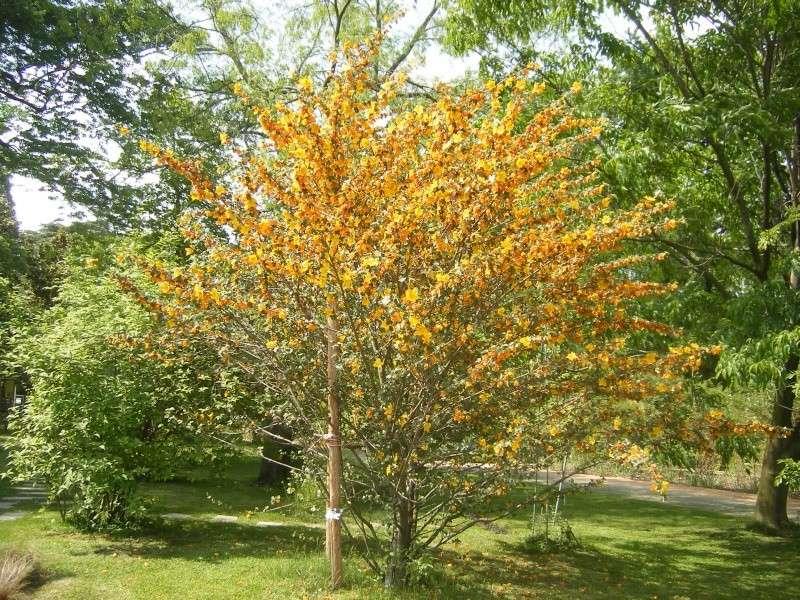 Fremontia californica , Fremontodendron Dscf0113