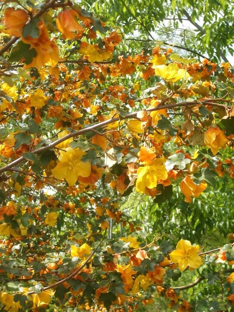 Fremontia californica , Fremontodendron Dscf0114