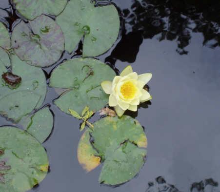 Nénuphar à fleurs jaunes Fleur_14