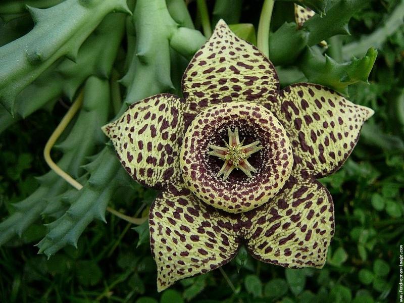 stapelia variegata, fleur étrange!! Galeri10