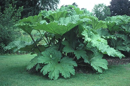 Gunnera, plante gigantesque Gunner10