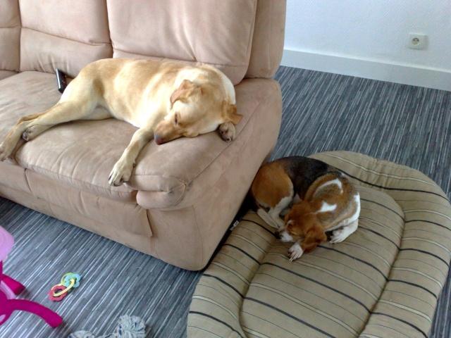VICKY, beagle femelle, 5 ans (59) Beagle10