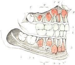 Le sens sacré de NOS DENTS Dentit10