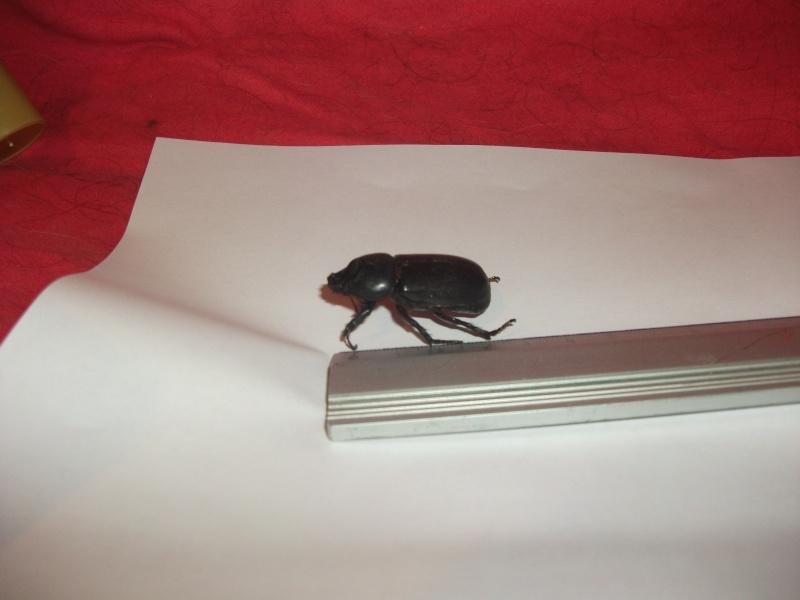 coleoptere bizarre Dscf0211