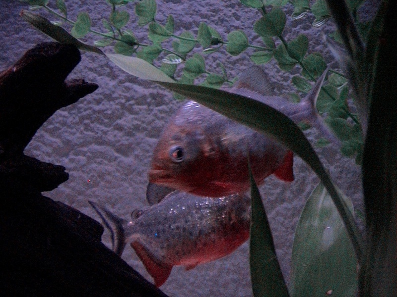 pygocentrus nattereri Fish110
