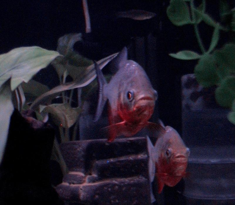 pygocentrus nattereri Fish410