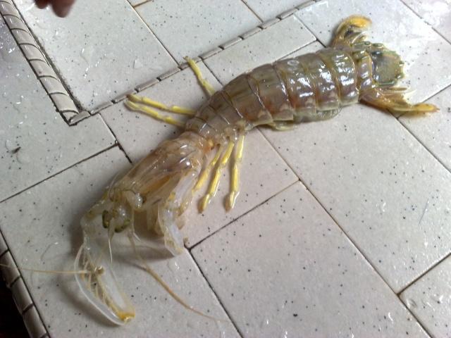 各位有看过这样的虾吗? 09092011