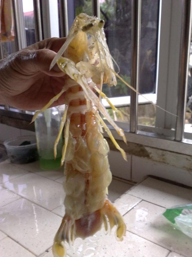 各位有看过这样的虾吗? 09092012
