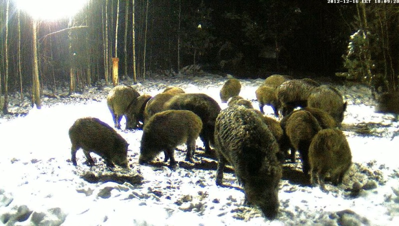 Boars cam, winter 2012 - 2013 - Page 4 2012-111