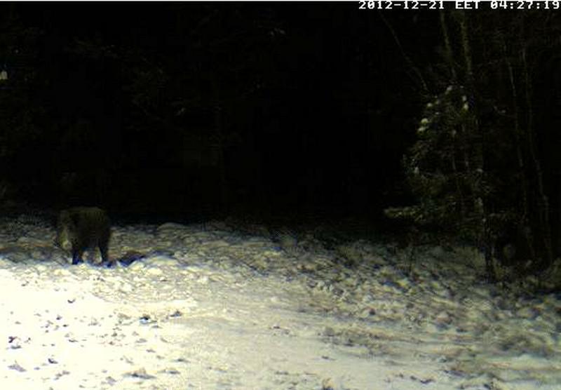 Boars cam, winter 2012 - 2013 - Page 5 2012-116