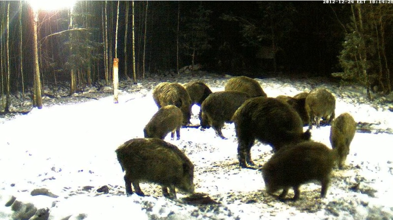 Boars cam, winter 2012 - 2013 - Page 6 2012-129