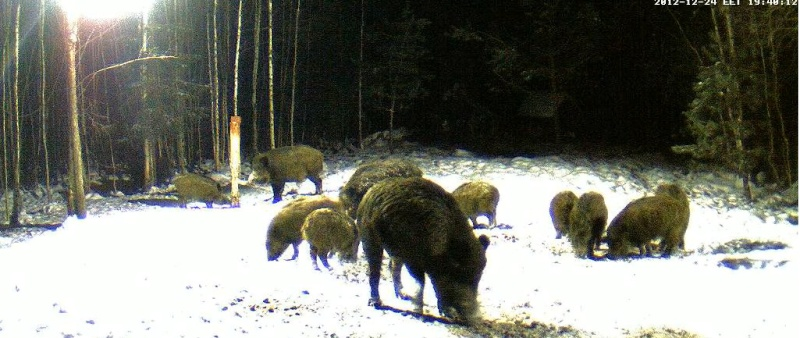 Boars cam, winter 2012 - 2013 - Page 6 2012-130