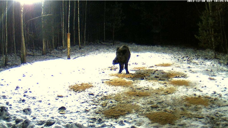 Boars cam, winter 2012 - 2013 - Page 6 2012-136
