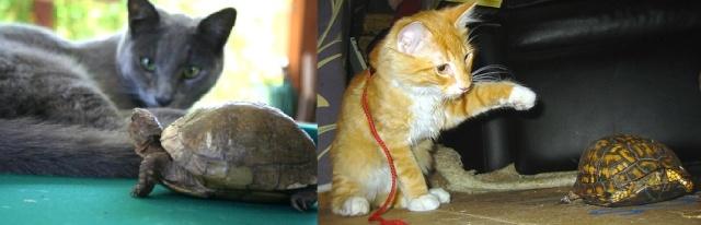 Les principaux prédateurs de nos tortues Chat_t10