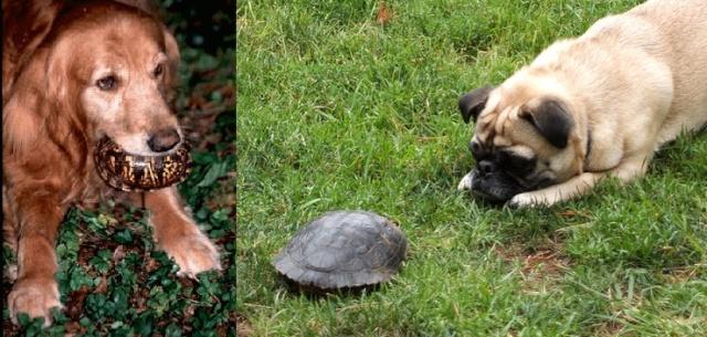 Les principaux prédateurs de nos tortues Chien_10