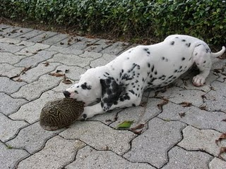 Les principaux prédateurs de nos tortues Dog_tu10
