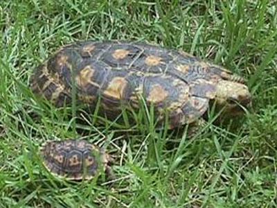 La tortue plate (Malacochersus tornieri) Malaco10