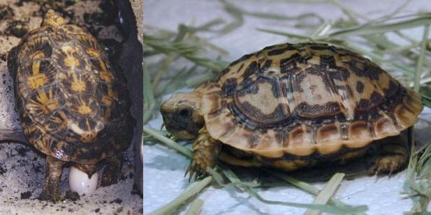 La tortue plate (Malacochersus tornieri) Malaco11