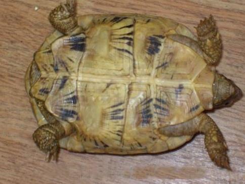 La tortue plate (Malacochersus tornieri) Malaco16
