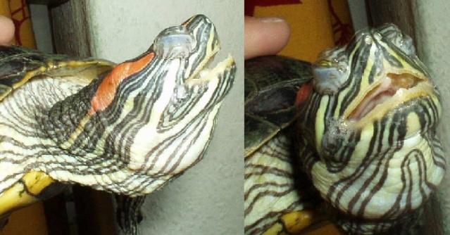 Les maladies principales chez les tortues Patho_19