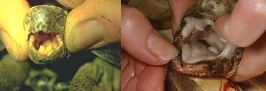 Les maladies principales chez les tortues Patho_21