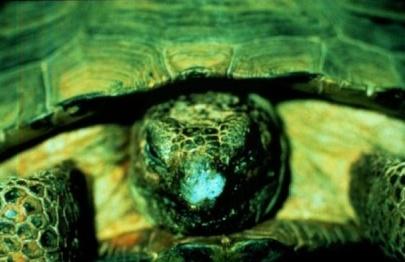 Les maladies principales chez les tortues Patho_22