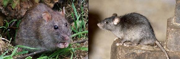 Les principaux prédateurs de nos tortues Rat_bm10