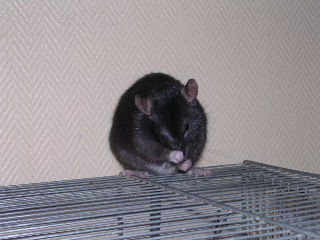 adoptons jeunes ratounes dans le 44 (49. ou 85 ou 35 ou 56) Img20112