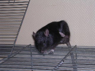 adoptons jeunes ratounes dans le 44 (49. ou 85 ou 35 ou 56) Img20113