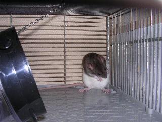 adoptons jeunes ratounes dans le 44 (49. ou 85 ou 35 ou 56) Img20116