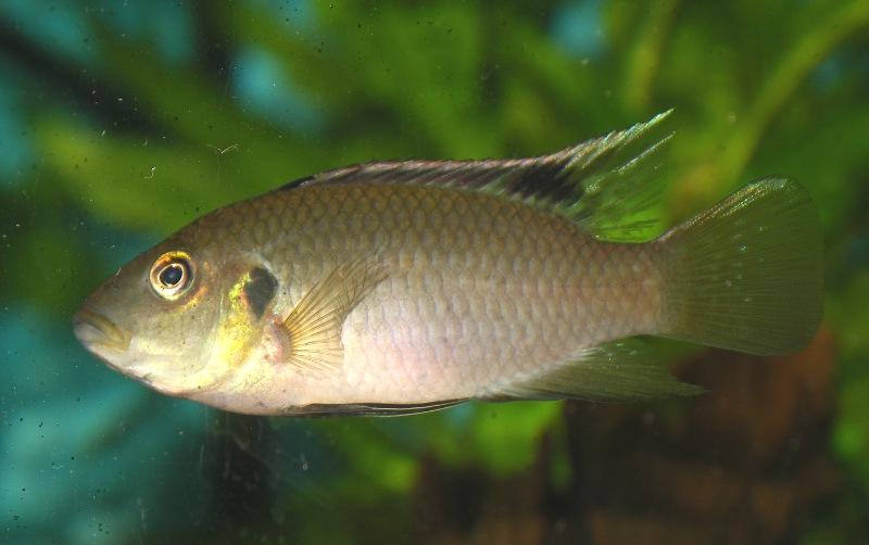 Benitochromis nigrodorsalis Benito10